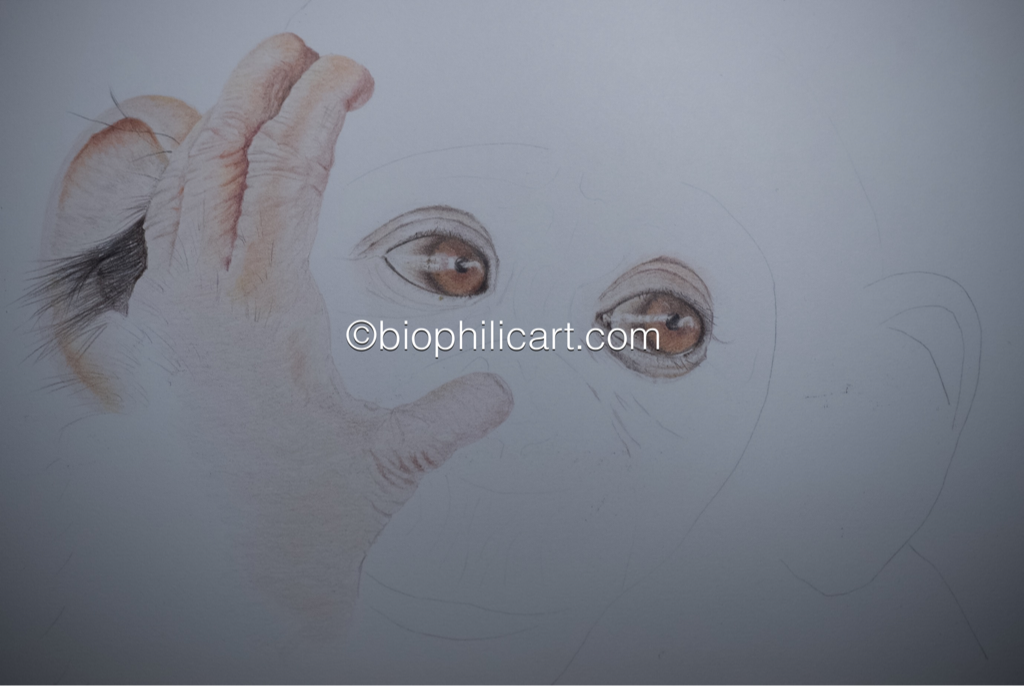 Picture of a chimpanzee drawn with colored pencils. Coloured pencil wildlife art. Coloured pencil drawing of a chimp. Colored pencil drawing of a chimps eyes and hand. Chimpanzee eyes drawing.