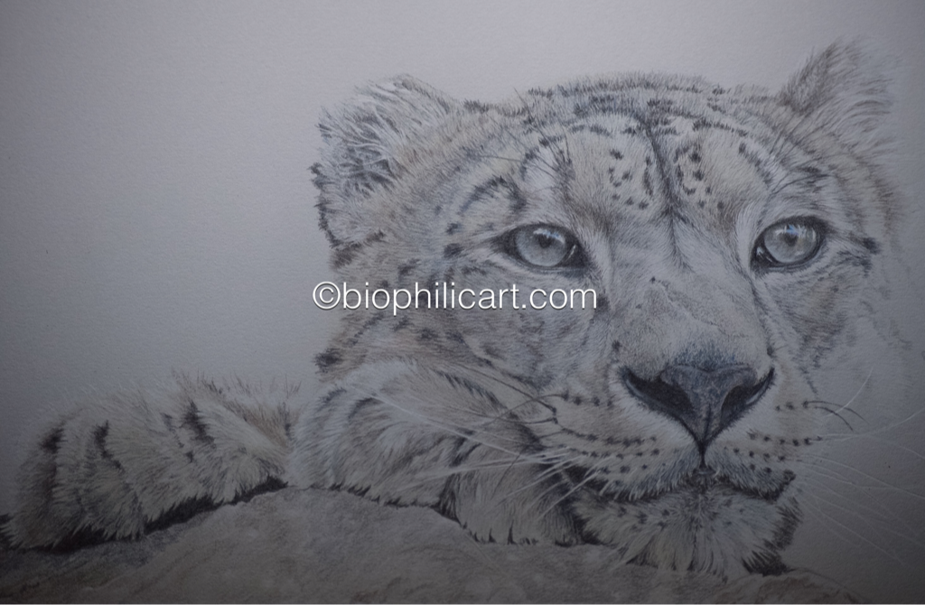 Drawing of a leopard using colored pencil. Colored pencil art picture of a leopard cub. Snow leopard drawing. Work in progress drawing of a leopard cub.