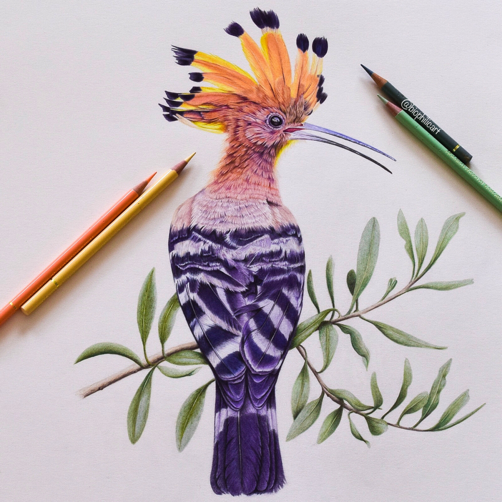 Picture of a Hoopoe bird drawn using colored pencils. Colored pencil bird art.
