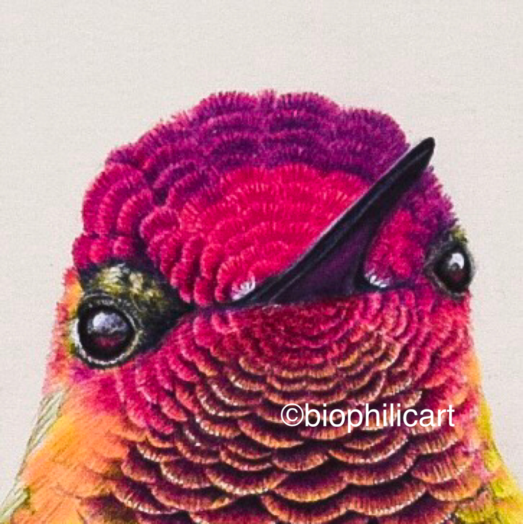 Picture showing the final step in my colored pencil tutorial on drawing hummingbird head feathers.