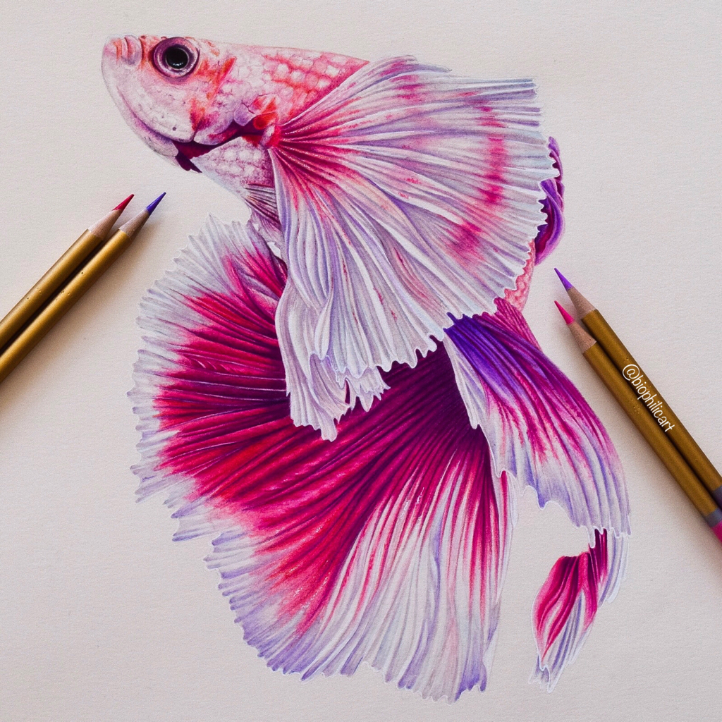 Picture of a Siamese fighting fish, Betta fish drawn using coloured pencils. Colored pencil drawing of a fish. Pink half moon fish drawng.