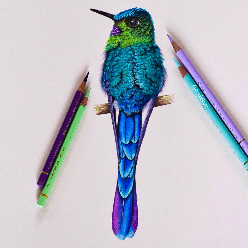 Picture of a hummingbird (a Violet Tailed Sylph) drawn using colored pencils. Colored pencil bird art. Picture drawn using Faber Castell Polychromos and Caran D'ache Luminance and Pablo's and Holbeins.