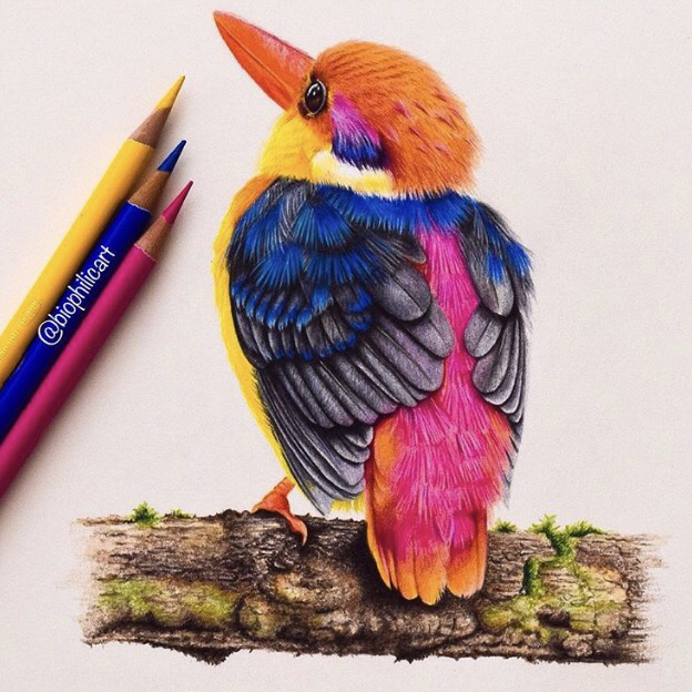 Picture of a Dwarf Oriental Kingfisher drawn using colored pencils.  coloured pencil kingfisher drawing.