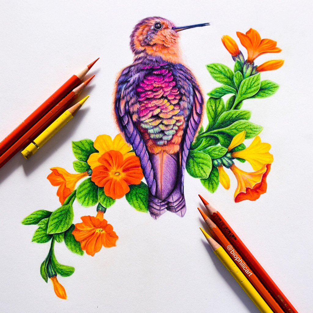 Picture of a Shining Sunbeam Hummingbird on a Marmalade Bush drawn using colored pencils. Hummingbird drawn with Faber Castell Polychromos and Caran D'ache Luminance and Pablo's on Stonehenge paper.