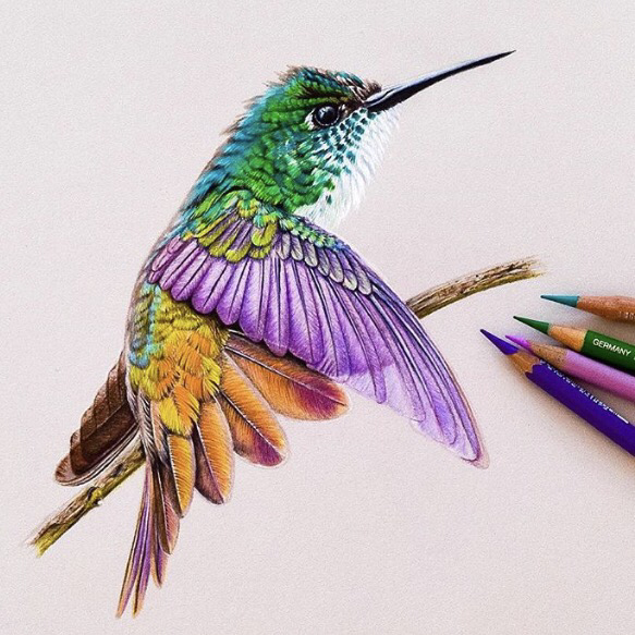 Picture of a hummingbird drawn using colored pencils.  coloured pencil drawing of a Calliope hummingbird.