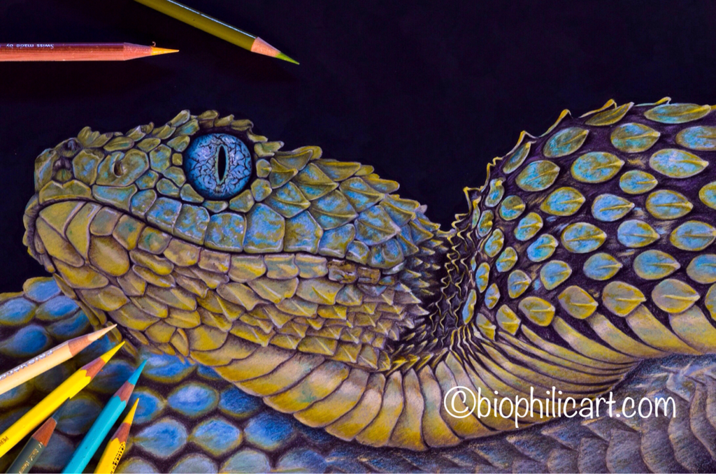 Picture of a Bush Viper drawn using colored pencils. Colored pencil snake art.