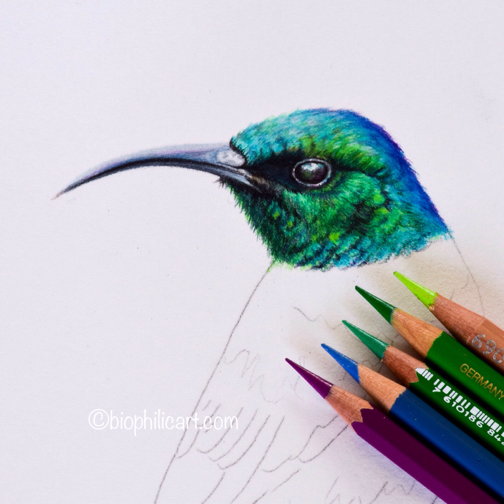 Picture of a Sunbird drawn using coloured pencils. Work in progress close up shot of the head of a bird. Colored pencil art.