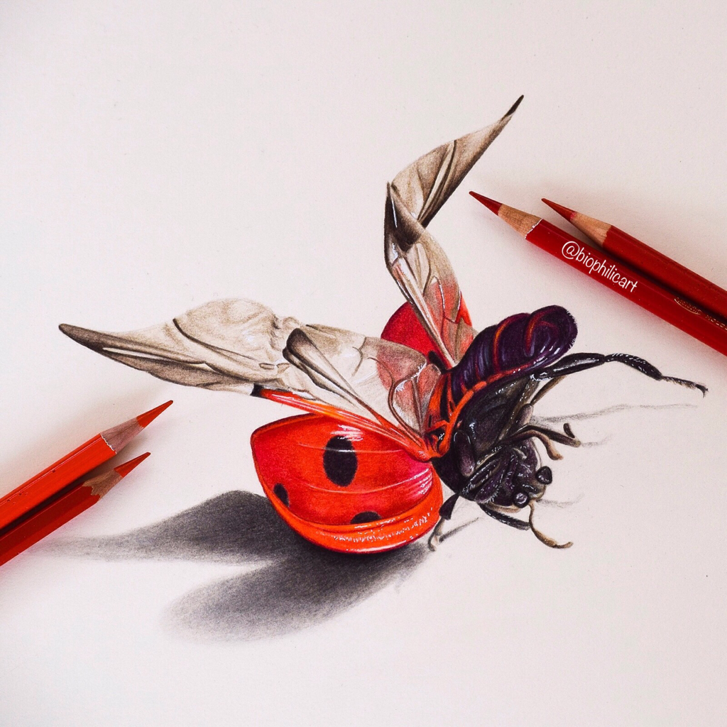 Picture of a ladybird or ladybug drawn using coloured pencil, colored pencil drawing of a ladybird. Wildlife art in colored pencil.