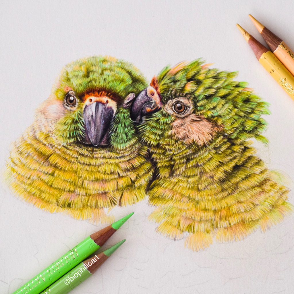 Picture if two maroon bellied parakeets drawn using colored pencils. Colored pencil bird art.