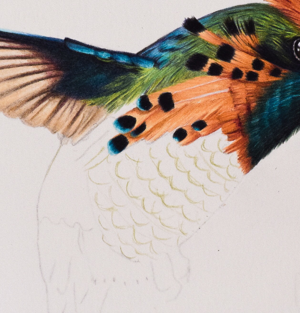 Picture showing step 1 in my guide to drawing hummingbird feathers using colored pencil. Here l outline the basic shapes.