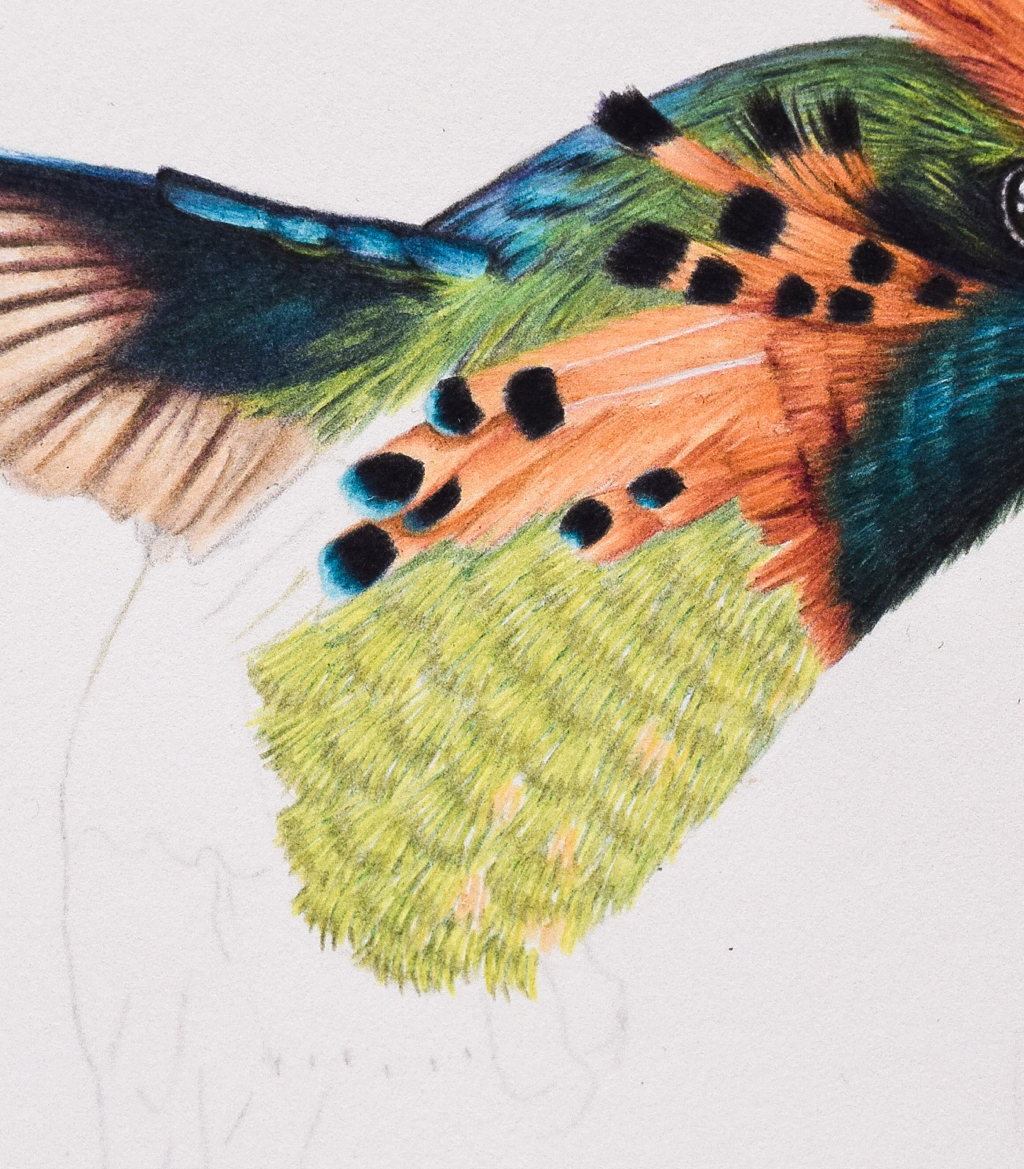 Picture showing step 4 of my tutorial on drawing hummingbird feathers with colored pencils.