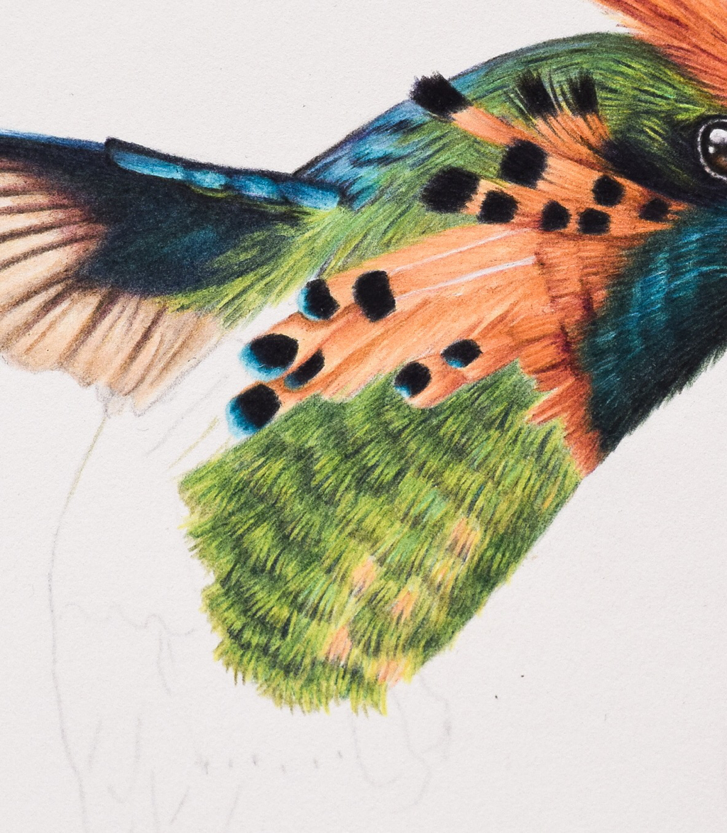 Picture showing step 6 in my tutorial of drawing hummingbird feathers with coloured pencils.