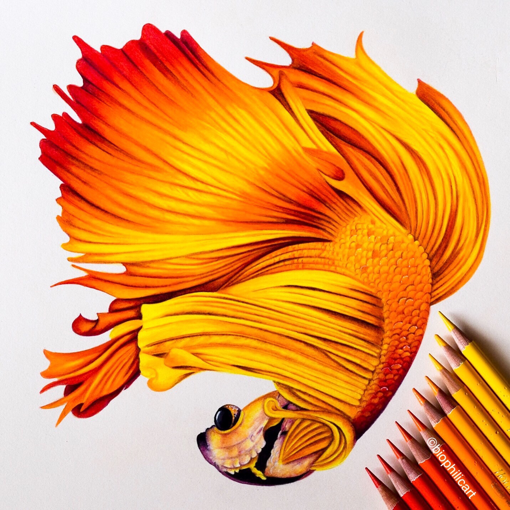 Picture of a fire colored Betta Fish drawn using colored pencils. I used Derwent Inktense pencils for this drawing.