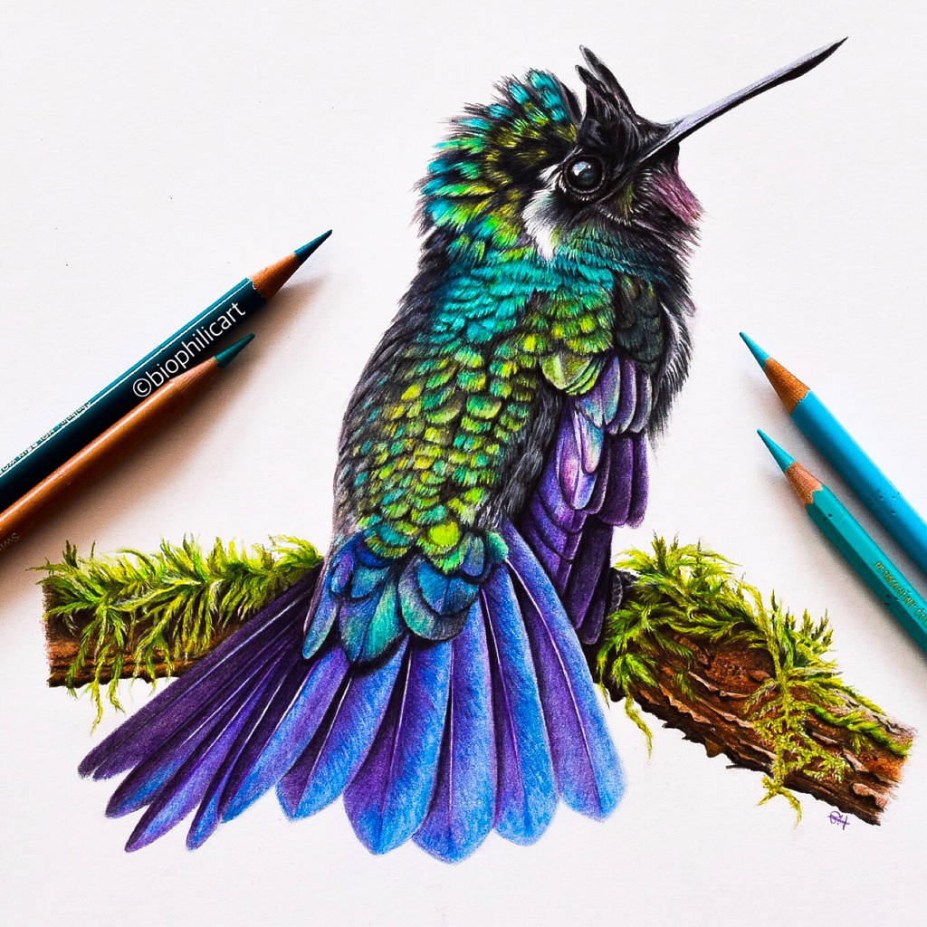 Picture of a Mountain Gem Hummingbird drawn using colored pencil. Coloured pencil drawing of a hummingbird.